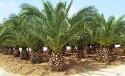 Palmeira Tamareira Das Canarias - Canariensis - Desenvolvida com 1,5 metro de altura total R$ 195,00
