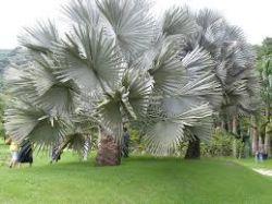 Palmeira-azul – Bismarckia nobilis - Mudas com 1,60 metros R$ 650,00
