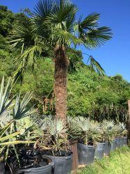 Palmeira Trachycarpus fortunei- Palmeira moinho de vento - Adulta com 2,75 metros de caule