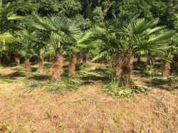 PALMEIRA TRACHYCARPUS FORTUNEI- Palmeira moinho de vento - Adulta com 1,0 metros de caule