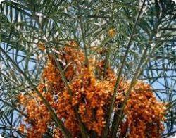Palmeira Tamareira-do-senegal - Phoenix Reclinata - Mudas com 50 cm R  d02586311fa1f