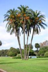 Palmeira Tamareira-do-senegal - Phoenix Reclinata - Mudas com 70 a 80 cm R$ 110,00