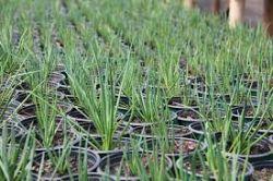 Agave palito - Gemniflora - Mudas com 25 cm de altura R$ 35,00