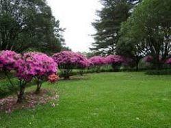 AZALEIA - Rhododendron Sismii  - Mudas com 80 cm de altura (total)R$ 95,00