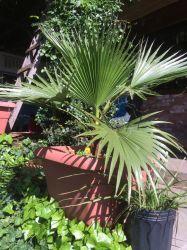 Palmeira Washingtonia - Muda com 1 metro de altura R$ 150,00