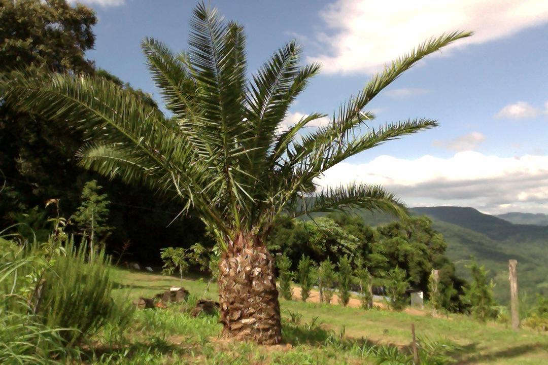 VIVEIRO VALE REAL - Palmeira Tamareira Das Canarias - Canariensis ... 829975da357af