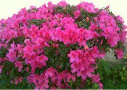 AZALEIA - Rhododendron Sismii  - Mudas com 80 cm de altura (total)R$ 45,00