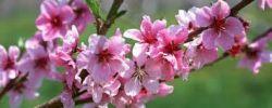 Cerejeira Japonesa - Mudas entre1,0 e 1,2metro de altura R$ 55,00