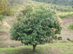 CANELA AMARELA - Nectandra lanceolata Nees - mudas com 2,0m de altura - 38,00