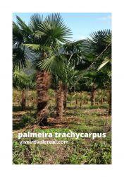 PALMEIRA TRACHYCARPUS FORTUNEI- Palmeira moinho de vento - Muda com 30 cm de altura