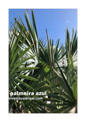 PALMEIRA AZUL – Bismarckia nobilis - Mudas com 1,60 metros R$ 650,00