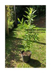 CARVALHO JAPONES MUDA - UM METRO-  R$75,00