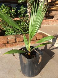 PALMEIRA WASHINGTONIA - altura tronco: 1,80 - cintura: 1,50 cm R$900,00