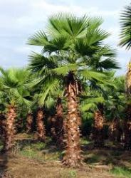 PALMEIRA WASHINGTONIA - altura tronco: 1,80 - cintura: 1,50 cm R$1.170,00