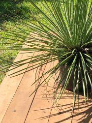 AGAVE PALITO - Gemniflora - Mudas com 25 cm de altura (total) R$ 35,00