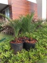 PALMEIRA  DAS CANARIAS  Canariensis altura 1,60  m (total) -tronco 20 cm alt cintura 40 a 50cm  R$ 495,00