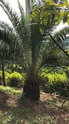PALMEIRA DAS CANARIAS - canariensis - altura tronco: 70 cm - cintura: 2,0 m  R$ 2.500,00