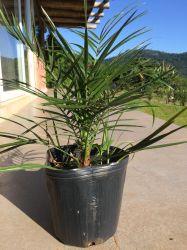 Palmeira Tamareira Das Canarias - Canariensis - Mudas ate 50cm R$ 89,00