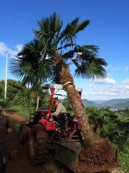 Palmeira Trachycarpus fortunei- Palmeira moinho de vento - Adulta com 1,70 metros de caule