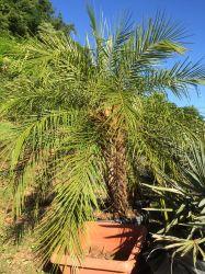 Palmeira Phoenix roebelenii - Fenix Adulta 1,00 a 1,30 metros de caule. R$ 280,00