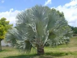 Palmeira-azul – Bismarckia nobilis - Mudas com 80 a 100 cm R$ 250,00