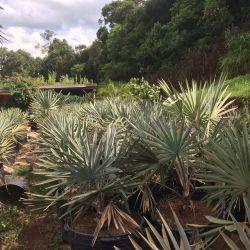 PALMEIRA AZUL– Bismarckia nobilis - Mudas com 80 a 100 cm (total) R$ 250,00